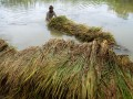 Petani memanen padi di persawahan yang terendam banjir di Sayung, Demak, Jawa Tengah, Kamis (16/2/2017). Menurut data dari Kantor Kecamatan Sayung, sekitar 200 hektare areal persawahan terendam air dan terancam gagal panen akibat meluapnya Sungai Dombo yang tak mampu menampung debit air karena intensitas hujan tinggi. (ANTARA FOTO/Aji Styawan)