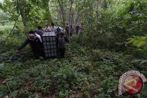 12 orang utan kembali dipindahkan ke Pulau Salat