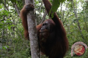 Puluhan orangutan berkeliaran di DAS Mangkutub Kapuas
