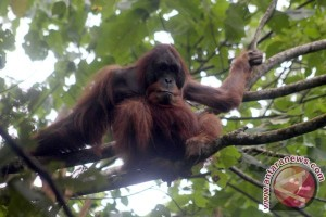 EARTH WIRE -- Environmental NGOs write to UNESCO highlighting threat to Leuser Ecosystem