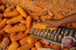Tahun berat menghadang petani jagung Kenya