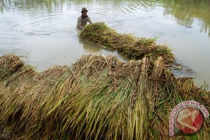 1.300 hektare sawah di Badung dapat asuransi gagal panen