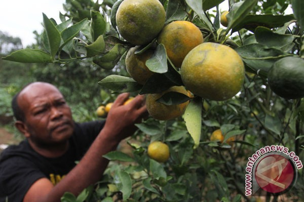 Indonesian farmers to grow seedless oranges
