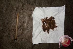 Ini bentuk tembakau gorila, bagaimana efeknya menurut pemakai?