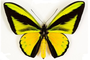 Penyidik gagalkan penyelundupan kupu-kupu langka Papua