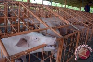 Buleleng gencarkan sosialisasi pencegahan meningitis babi