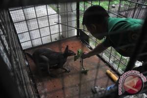 Kangguru Papua Gagal Diselundupkan