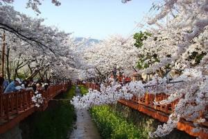 Tempat terindah di Korea saat musim semi