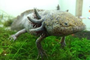 Axolotl,  hewan langka yang tunggu pembeli