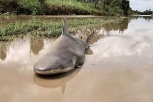 Shark found in Australian floodwaters following cyclone Debbie