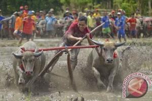 Barapan Kebo Di Festival Mantar