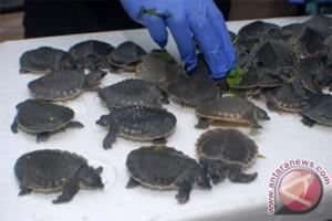 Perburuan liar ancam kelestarian kura-kura di Papua
