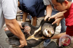 Beruang madu diamputasi karena terjerat perangkap