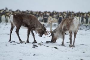 Norwegia akan musnahkan 2.000 rusa kutub untuk basmi penyakit