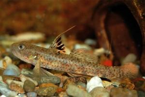 Marga Lumbantobing jadi nama spesies baru ikan goby