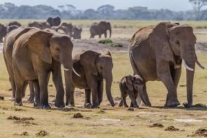 43 gajah liar serbu desa-desa Tanzania utara