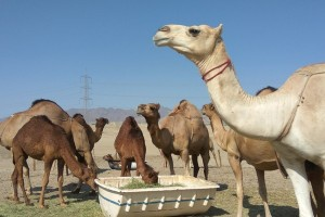 12.000 unta dan domba dikembalikan ke Qatar dari Saudi