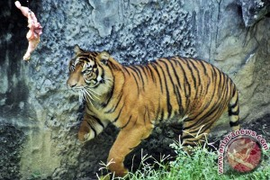 Belasan jerat harimau sumatera dipamerkan di Bengkulu