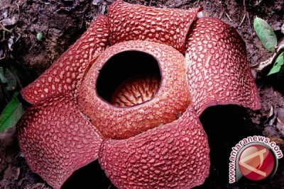 Rafflesia gadutensis kelopak enam mekar di Bengkulu