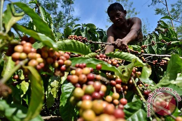 Kementan-Scopi targetkan 65.500 `master trainer` kopi robusta