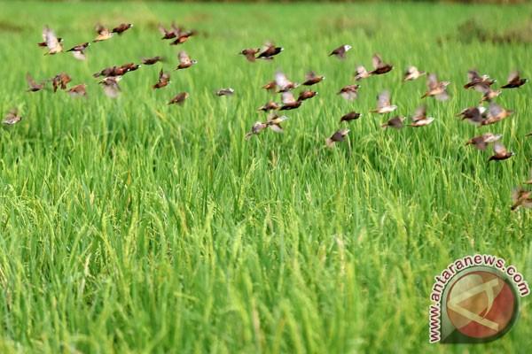 Kementan pastikan serangan wereng tidak ganggu produksi padi