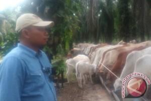 AAL pasok 100 sapi potong per minggu
