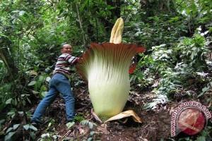 Amorphophallus titanum setinggi tiga meter mekar di Bengkulu