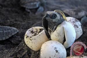 Penetasan Telur Penyu