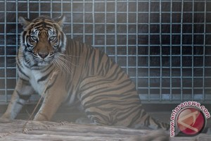 Rehabilitasi Harimau Sumatera