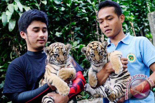 Keponakan Raffi Ahmad jadi orangtua asuh harimau KBB