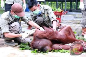 Orangutan dari Kuwait kembali ke Kalteng
