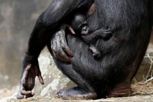 Bayi primata bonobo pemalu lahir di Belgia
