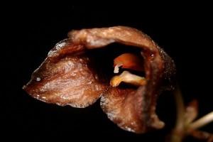 TNGM terus identifikasi jenis anggrek Merapi
