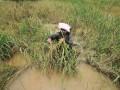 Lahan Pertanian Terendam