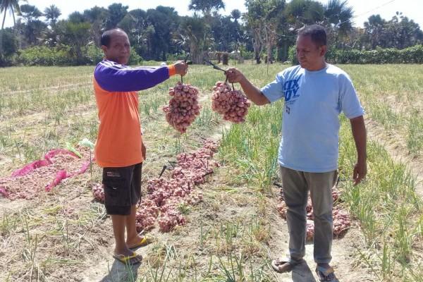 NTT akan ekspor bawang merah organik ke Timor Leste