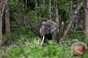 Gajah koleksi TMSBK Bukittinggi mati karena sakit