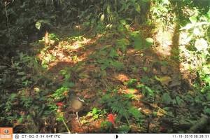 TNBG tangkap penampakan enam spesies terancam punah, termasuk burung tokhtor sumatera
