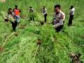 Aparat Kepolisian Polres Lhokseumawe mencabuti tanaman ganja di ladang seluas 6 hektar dalam operasi di perbukitan Desa Lancok, Sawang, Aceh Utara, Provinsi Aceh, Kamis  (12/10/2017). Dalam operasi itu, Polisi menemukan belasan hektar ladang ganja yang dijangkau dengan berjalan kaki menempuh hutan dan perbukitan untuk dimusnahkan. (ANTARA /Rahmad)