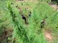 Aparat Kepolisian Polres Lhokseumawe mencabuti tanaman ganja di ladang seluas 6 hektar dalam operasi di perbukitan Desa Lancok, Sawang, Aceh Utara, Provinsi Aceh, Kamis (12/10/2017). Dalam operasi itu, Polisi menemukan belasan hektar ladang ganja baru yang dijangkau dengan berjalan kaki menempuh hutan dan perbukitan untuk dimusnahkan. (ANTARA/Rahmad)