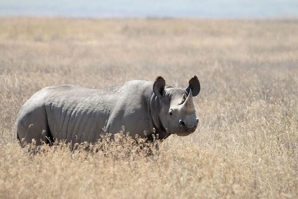 Enam badak hitam dari Afsel akan dipindahkan ke Chad
