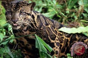 BKSDA ungsikan dua macan dahan di Pasaman Barat