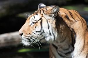 Dua harimau dari Suriah dapat rumah baru di Belanda