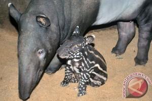Kelahiran Anak Tapir Di TSI Bogor