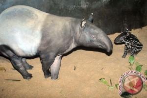 Tapir di Taman Safari Indonesia melahirkan bayi betina