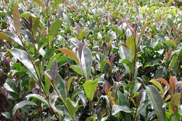 Permalink to Teh Tambi 1 dan Tambi 2, varietas unggul baru dari Balittri
