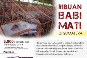 Ribuan babi mati di Sumatera