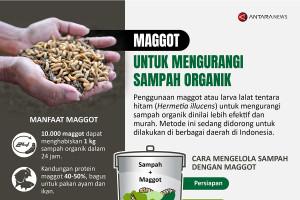 Maggot untuk mengurangi sampah organik