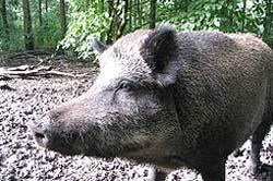 Warga Bali Bentuk Kelompok Peternak Babi