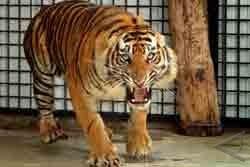 Harimau Sumatera Siap Dilepasliarkan