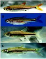 Spesies Ikan Baru Ditemukan di Sumatra